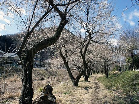 遊歩道梅林は現在、5~6分咲き(写真提供=八王子市産業振興部観光課)