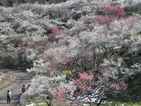 以前の高尾梅郷。春には1万本の梅が見頃を迎える