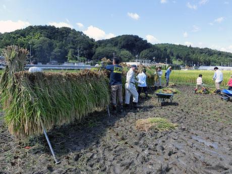 昨秋行われた稲刈りの様子