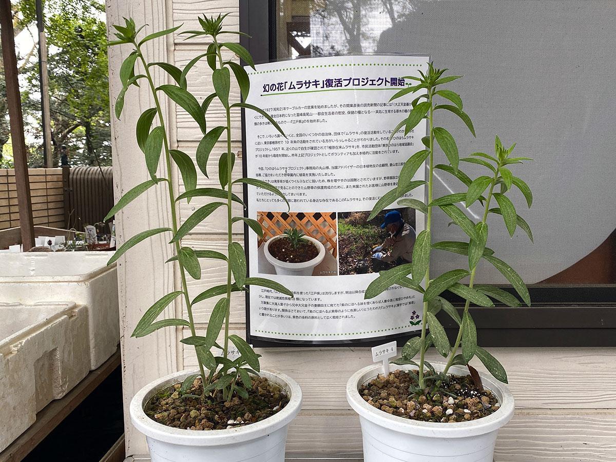 鉢植えで苗から育てているムラサキ