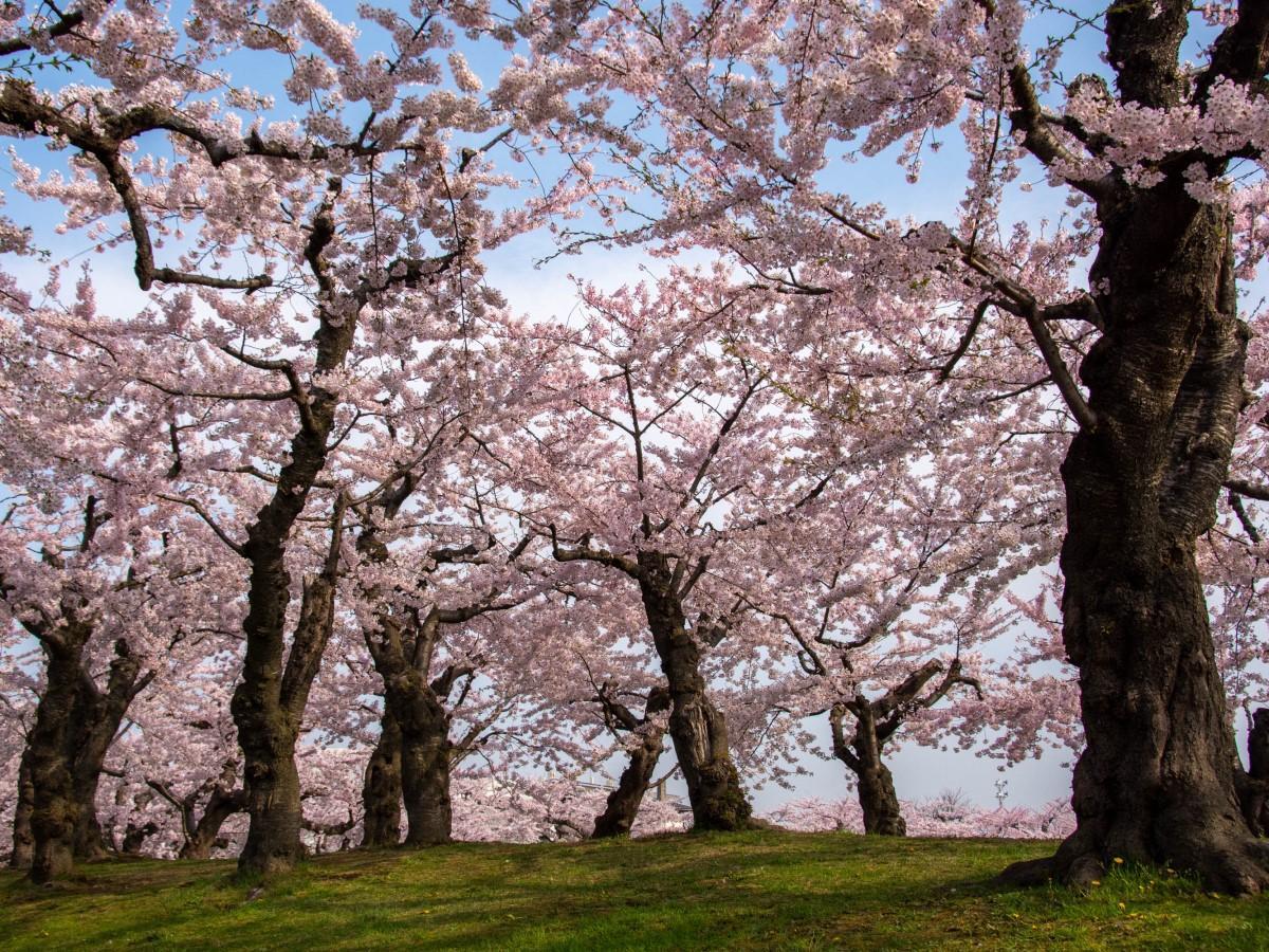 今年は花見期間中、函館公園・五稜郭公園の立ち入りを制限しない