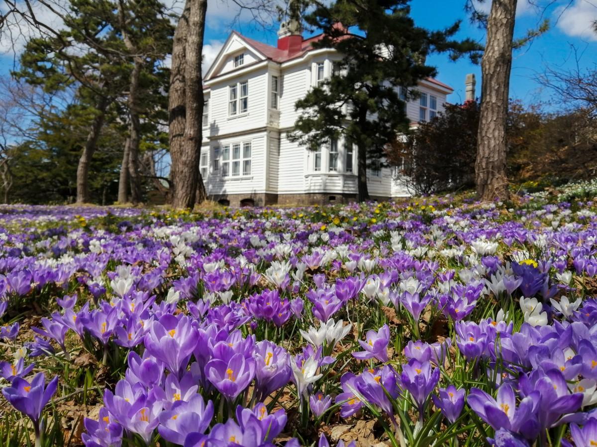 白壁が美しい旧宣教師館の周囲を埋め尽くす白と紫のクロッカス