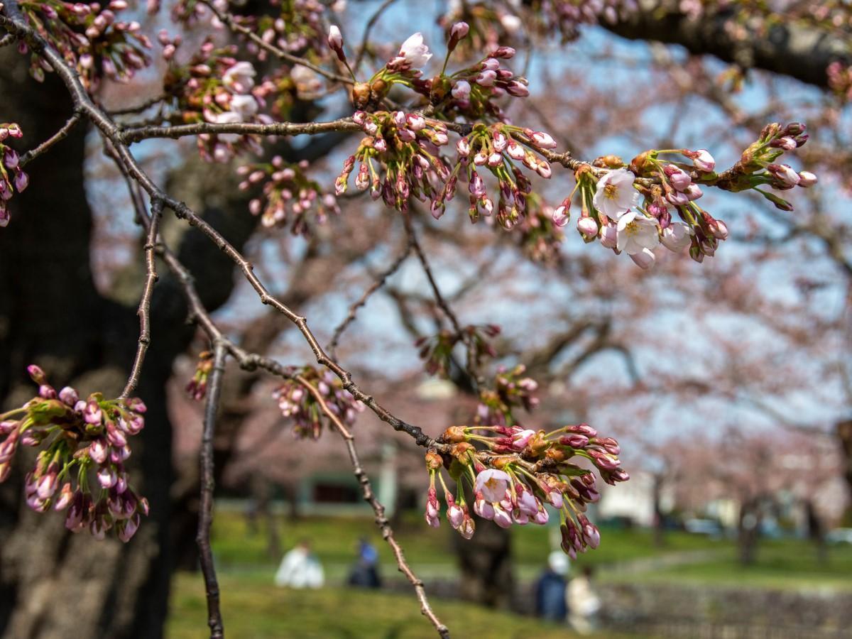 函館・五稜郭公園でソメイヨシノが開花した