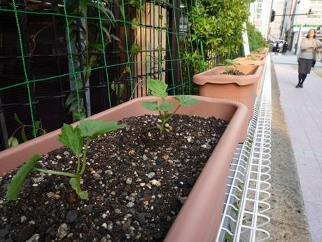 中区役所前に植えられたゴーヤ300鉢