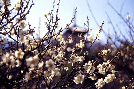 三溪園で梅の花を楽しむ「観梅会...