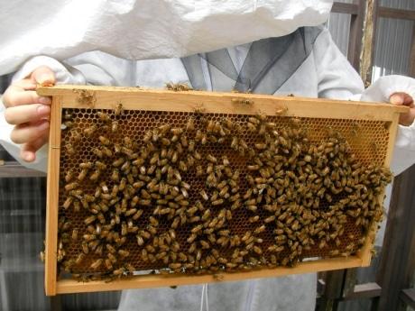 「北仲BRICK」の屋上の西洋ミツバチ