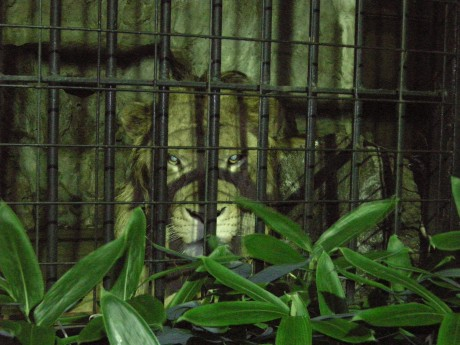 野毛山動物園の夜のオスライオン