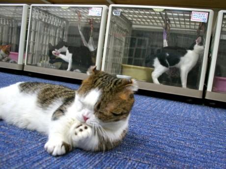 猫カフェれおんの店長「れおん」くん(手前)と飼い主を待つ猫たち