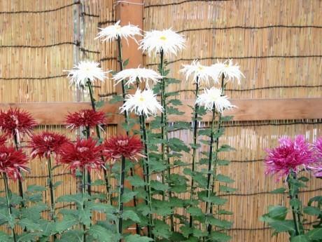 横浜三溪園に約500点の菊花が展示される