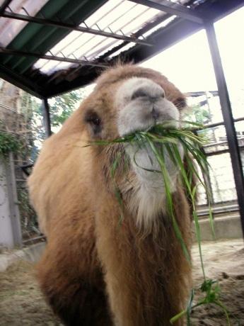 横浜市立野毛山動物園で飼育されているフタコブラクダ「ツガル」さん(推定35歳)
