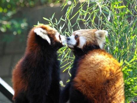 「モーニングキス」で仲良く挨拶を交わす野毛山動物園のレッサーパンダ「キンタ」ちゃんと「海」くん