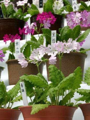 日本の古典園芸植物「桜草」