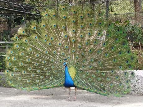 飾り羽を広げて求愛活動するインドクジャク