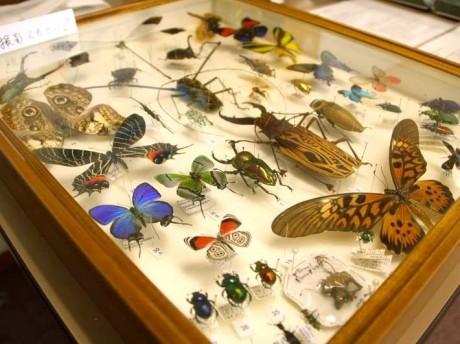 昆虫大学ではさまざまな虫の標本や飼育キットを紹介する