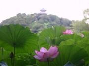 三溪園でハスの開花をたのしむ「早朝観蓮会」 蓮の葉シャワーや朝がゆも