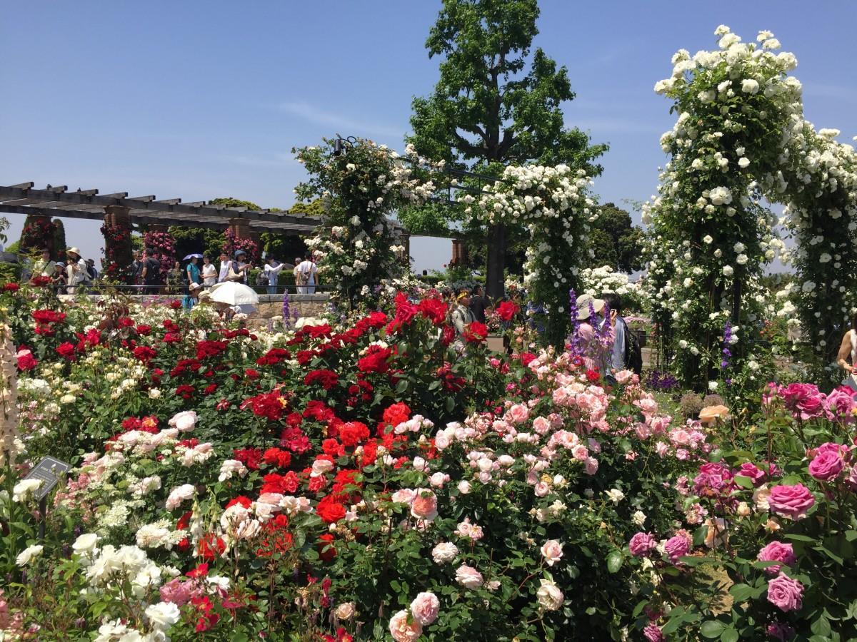 横浜公園の「未来のバラ園」