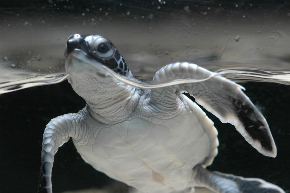 「ヨコハマおもしろ水族館」が保護活動の一環として飼育している小笠原生まれのアオウミガミ。コロナ禍で入館者が少なくなってしまったなか、ゆがんでしまった水槽の新調費用を集めたいという(写真提供=ヨコハマおもしろ水族館)