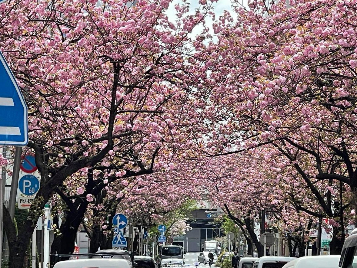 現在、満開を迎えている関内桜通りの八重桜