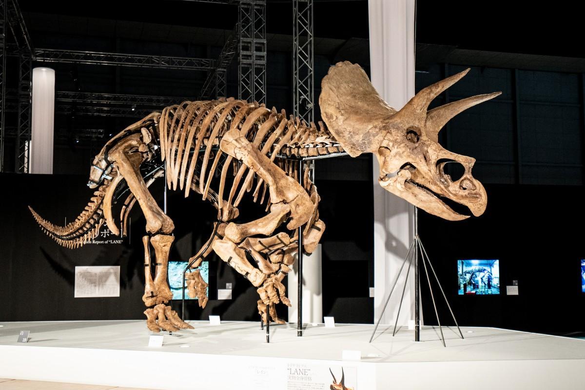 トリケラトプスの実物全身骨格「レイン」。