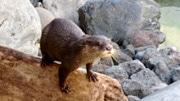 浜松市動物園のカワウソが「カワウソゥ選挙」で苦戦 飼育員が応援呼び掛け
