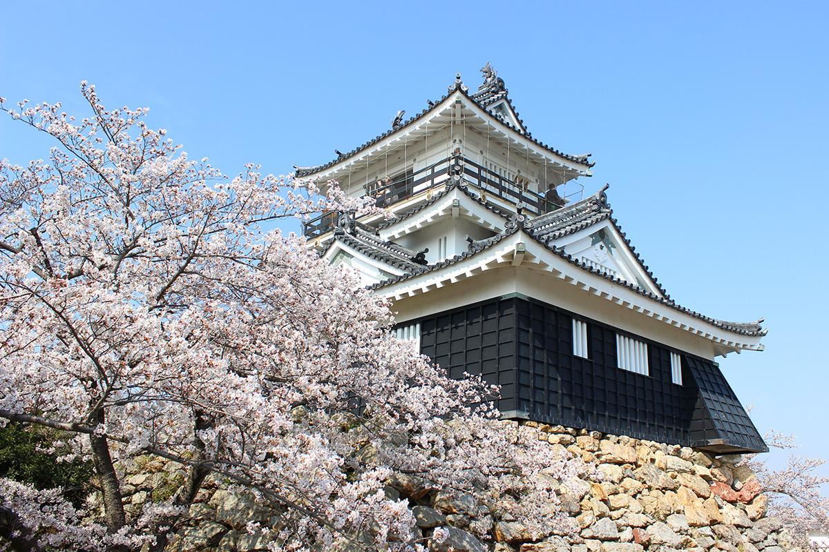 浜松城公園の桜も満開間近