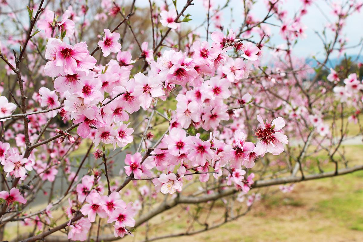 見頃を迎えたアーモンドの花