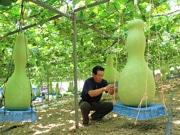 大ヒョウタン鈴なり、収穫間近-飛騨国府の大林さん、初の試作品種も