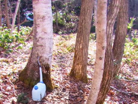 シラカバ樹液の採取風景