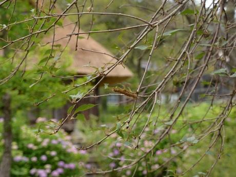 葉が食べ尽くされ無残な姿になったサクラの木で、なおを一心不乱に葉を食べ続けるマイマイガ幼虫(中央)(白川村鳩谷・嘉念坊で)