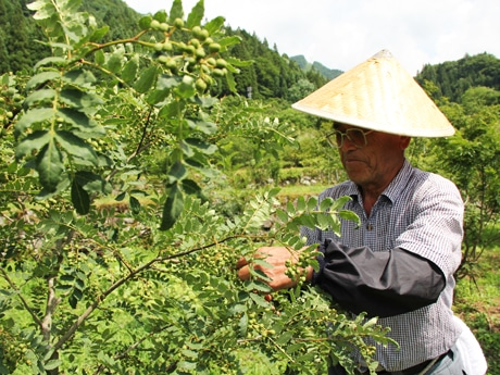 たわわに実ったサンショウの実を摘み取る地元サンショウ農家の野澤政勝さん