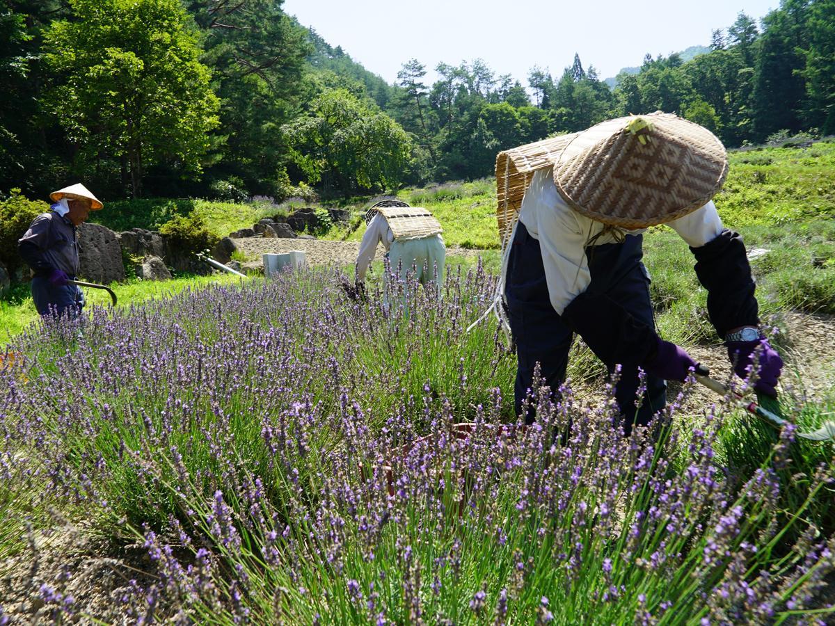 強い日差しが降り注ぐ中、昔ながらの暑さ対策姿で収穫作業に励む地元男性ら