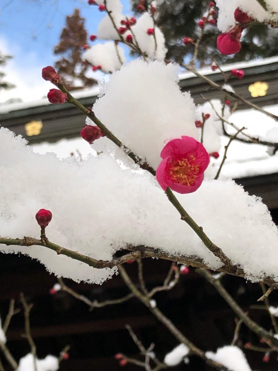 雪が積もった飛騨天満宮境内の紅梅(3月6日撮影)