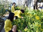 司馬遼太郎記念館、命日前に菜の花装飾 小阪・八戸ノ里周辺にも「菜の花ロード」