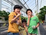 東大阪の川浦農園でイチゴ狩りイベント 大粒イチゴに興奮 「50個食べたい」