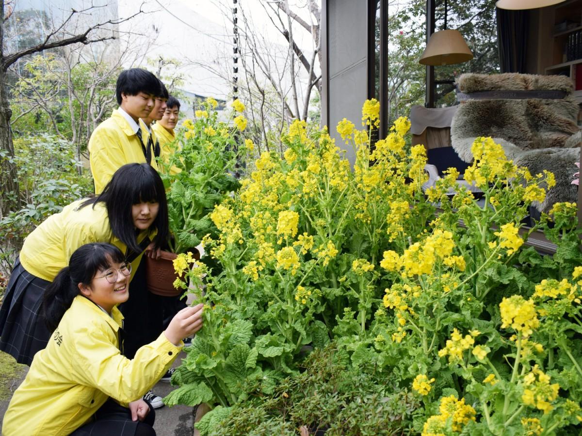 司馬さんの書斎前に菜の花を設置する布施高校の生徒