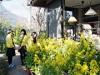 司馬遼太郎さん命日前に菜の花装飾 街中に広がり42団体参加