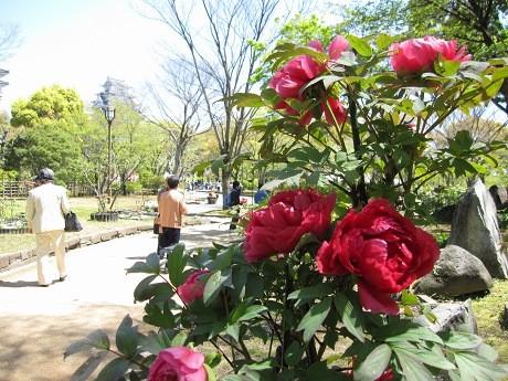 姫路城三の丸高台の「千姫ぼたん園」
