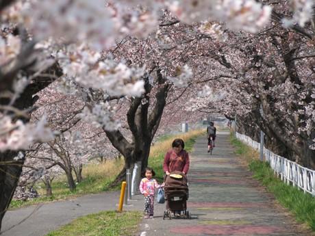 咲き誇るソメイヨシノが作る桜のトンネル