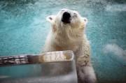 姫路動物園でホッキョクグマに氷のプレゼント 大暑の日イベント
