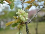 交野の植物園で緑桜が見頃 国内では同園のみ