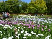 枚方・山田池公園の花しょうぶ園が開園 見頃に合わせてライトアップも