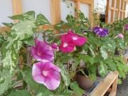 枚方・山田池公園でアサガオ展 30種70鉢を展示