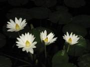 交野の植物園で夜咲き熱帯スイレンの観察会 同園スタッフによる解説も