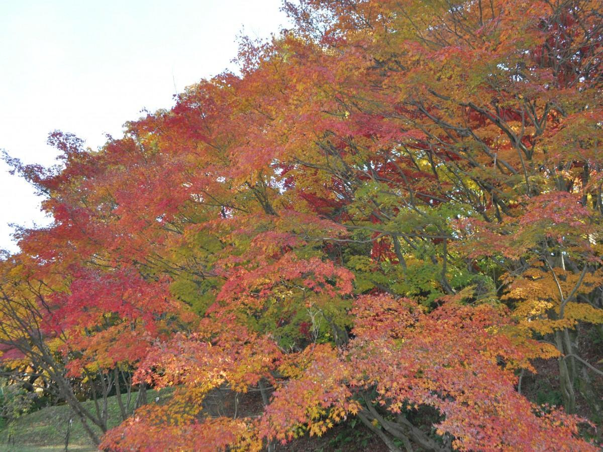 交野の植物園で紅葉の見頃 「メタセコイア」や「イチョウ」色づき始める
