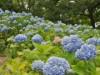 枚方・山田池公園のアジサイが見頃 色とりどりのアジサイ2600株、七夕まつりも