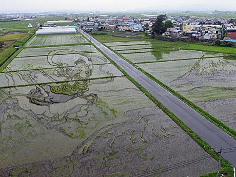 6月16日の田舎館村展望台(第1田んぼアート)の様子