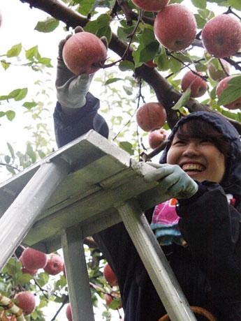 雨の降る中、りんごをもぐ明治大学の学生たち。「ズシリと重くて、食べると酸味と甘みが詰まっている。これがりんごの味なのか」と驚く学生も