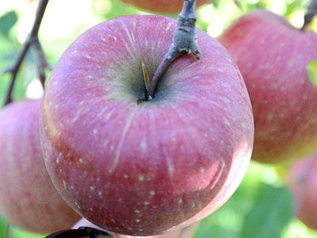 「ツル割れ」リンゴ