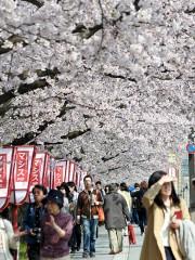 弘前公園の桜、外堀満開 園内は明日満開