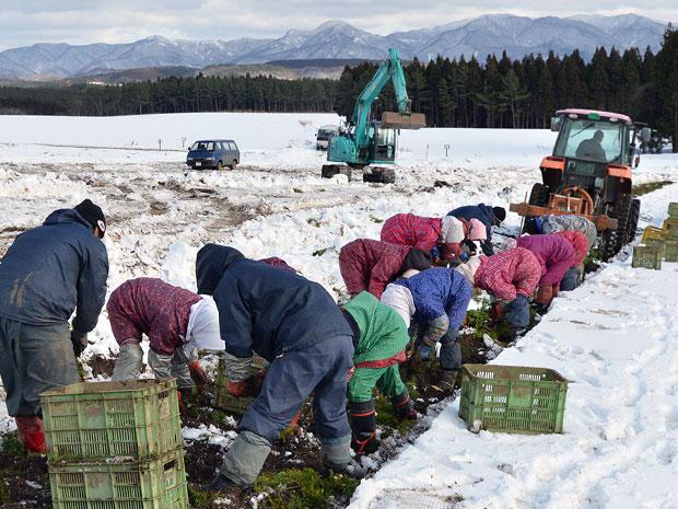雪の下からニンジンを収穫する地元女性たち